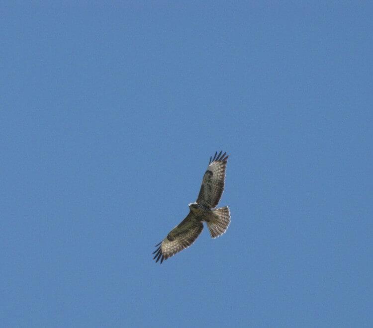 Skopelos Country villa Sendoukia - falcons captured by Stefan